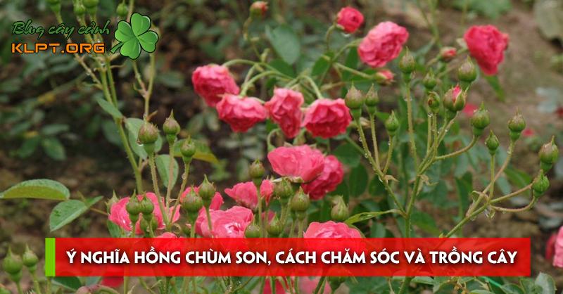 y-nghia-hong-chum-son-cach-cham-soc-va-trong-cay