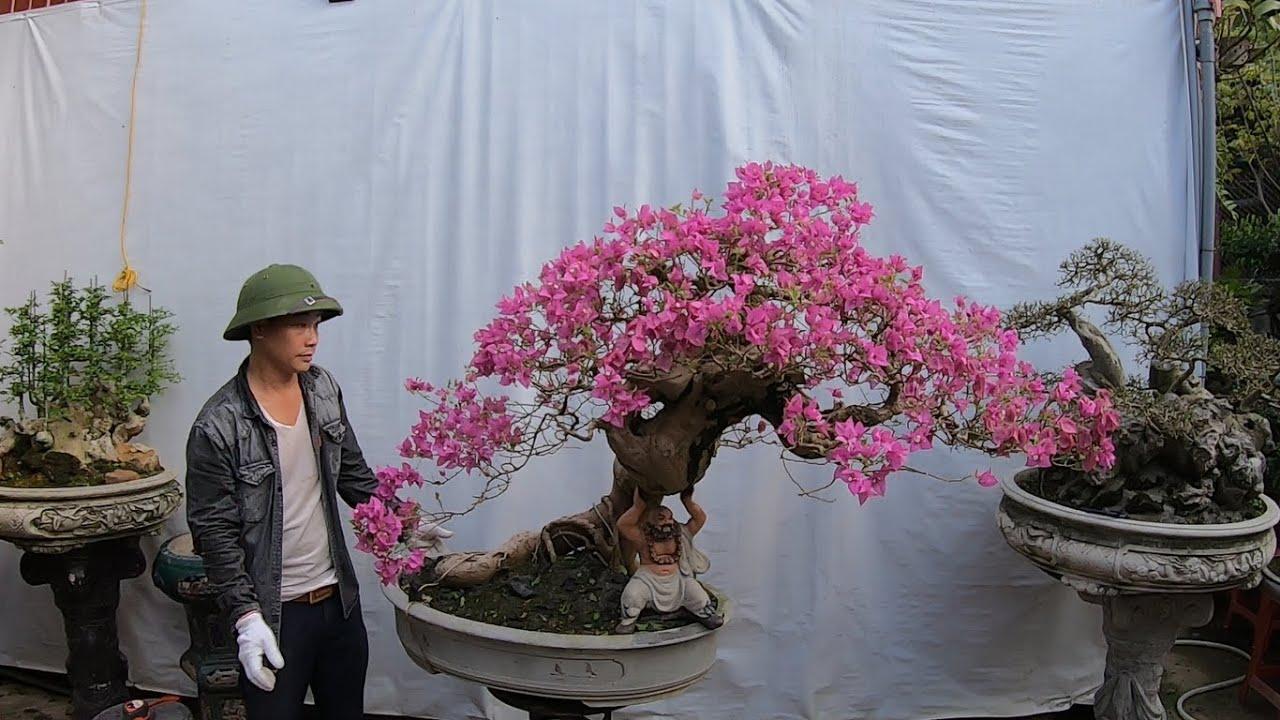 ✅Báo giá cây đẹp-hoa giấy bung hoa rực rỡ✔️BShp(52-Mr.Đại 0967828345)
