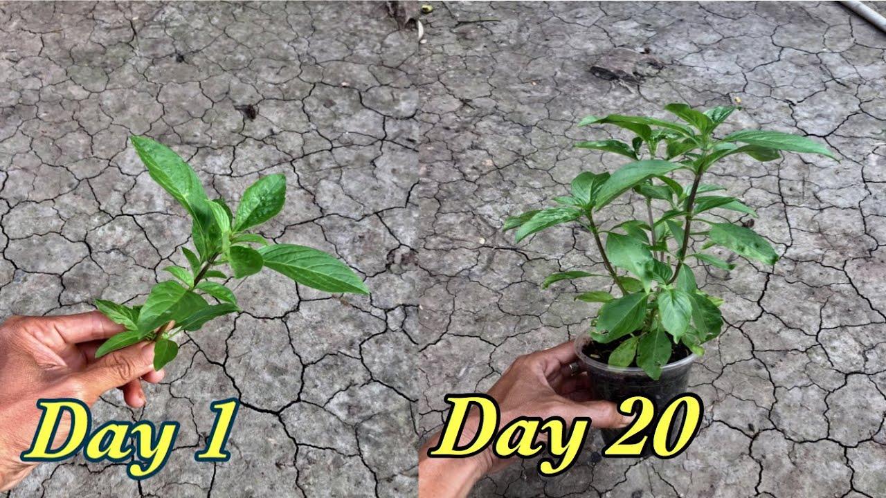Cách trồng rau quế từ nhánh hiệu quả