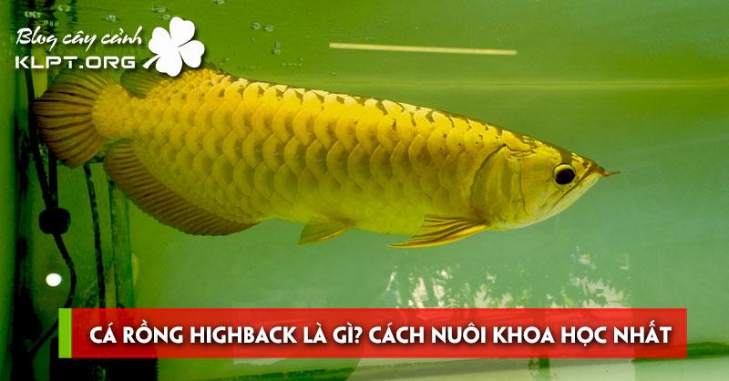 ca-rong-highback-la-gi-cach-nuoi-khoa-hoc-nhat