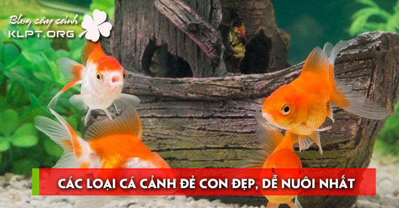 cac-loai-ca-canh-de-con-dep-de-nuoi-nhat-hien-nay