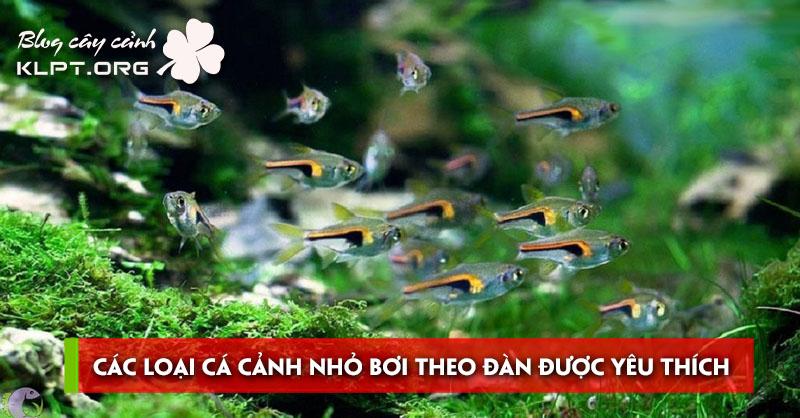 cac-loai-ca-canh-nho-boi-theo-dan-duoc-yeu-thich-nhat