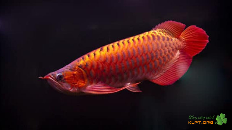 kim-long-hong-vi-redtail-golden-klpt