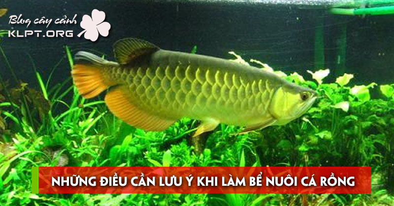 nhung-dieu-can-luu-y-khi-lam-be-nuoi-ca-rong-tai-nha
