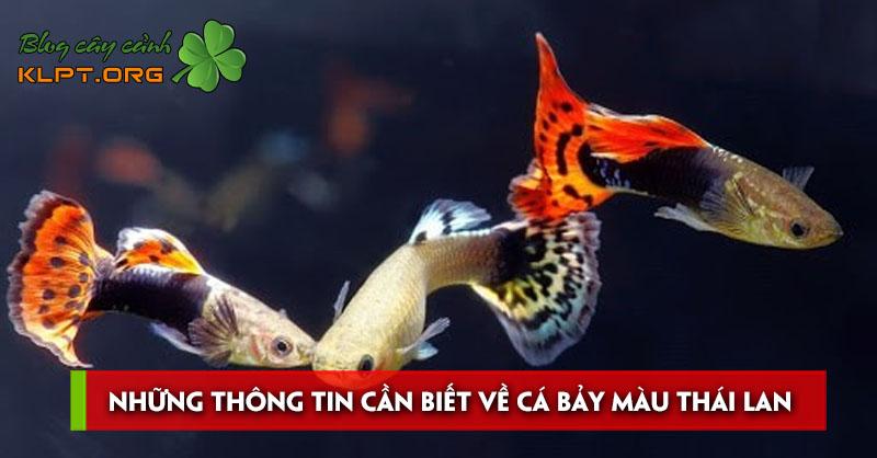nhung-thong-tin-can-biet-ve-ca-bay-mau-thai-lan