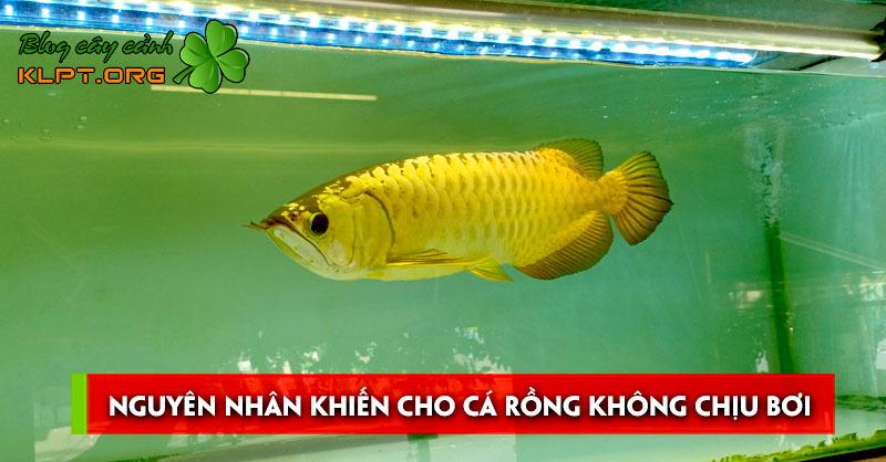 tim-hieu-cac-nguyen-nhan-khien-cho-ca-rong-khong-chiu-boi